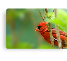 Cardinal Inspired by C.S. Lewis Canvas Print