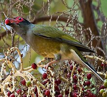 Male Australasian Figbird by FatBurns