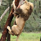 Lion's can climb tree's by Paul Jeston