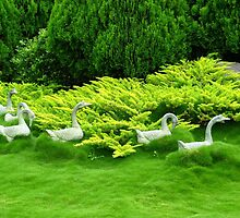 Geese in a Sea of Green - Hunter Valley Gardens by Marilyn Harris