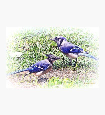 Blue Jays Photographic Print