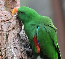 Male Eclectus Parrot II by Tom Newman