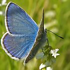 Blue butterfly by Frevik