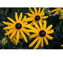 Brown Eyed Susan Photographic Print