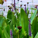 Water Lillies by roselee