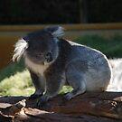 Koala by Michelle *