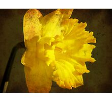 Playing with a daffodil... Photographic Print