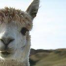 Llama by Kathryn Steel