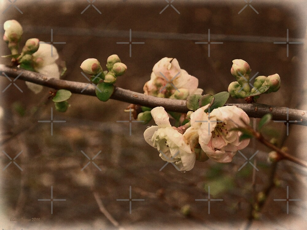 Flowering Quince (Japonica) by Elaine Teague