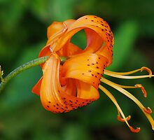 Curled Lily by Gerda Grice