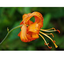 Curled Lily Photographic Print