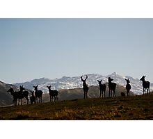 Free-range Deer- Queenstown, New Zealand Photographic Print