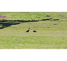Shelduck: Australian Mountain Ducks Photographic Print