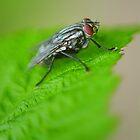 Fly Macro by Stefan Chirila