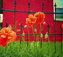 Poppies Bursting Forth by © Jolie  Buchanan