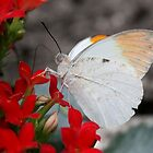 Great Orange Tip - Hebomoia glaucippe by Lepidoptera