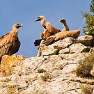 Vultures in a local territory dispute, Maestrazgo, Aragon, Spain by Andrew Jones