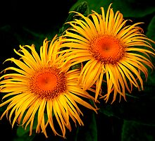 Two Daisies by Stephen Maxwell