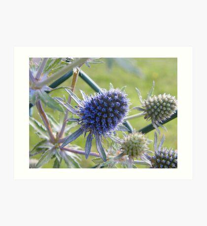 Sea Holly - Eryngium Art Print