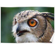 17 Week Old Turkmenian Eagle Owl Poster