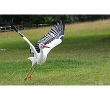 White Stork Photographic Print