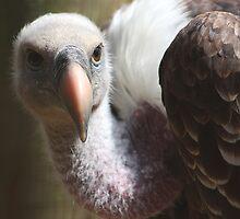 Griffon Vulture by jdmphotography