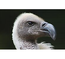 White-backed Vulture Portrait Photographic Print