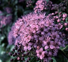 Cluster of Pink by GreenBeans