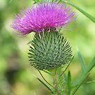 Purple Thistle by ChereeCheree