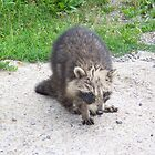 Probably Rabid Racoon by peggywright
