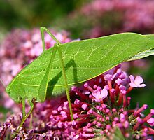 Leaf Hopper by SB  Sullivan