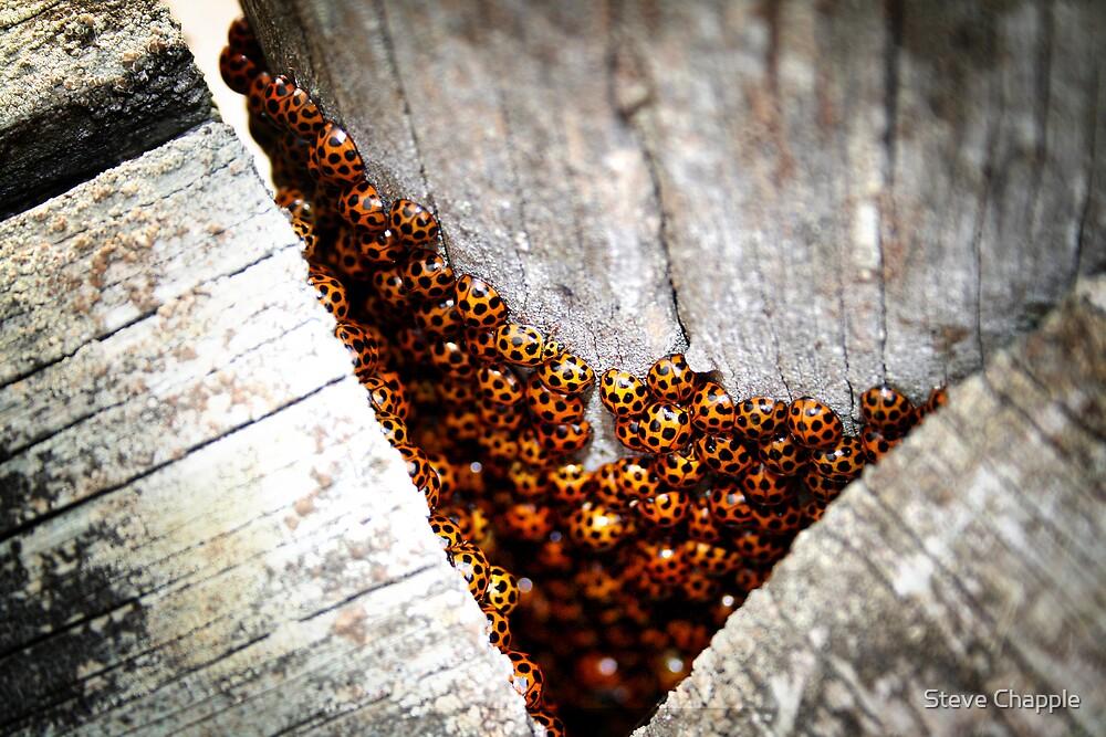 Ladybirds by Steve Chapple