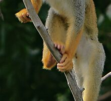 Spider Monkey by Swede