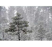23.1.2015: Pine Trees in Blizzard I Photographic Print