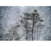 23.1.2015: Pine Trees in Blizzard III Photographic Print