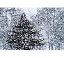 23.1.2015: Pine Trees in Blizzard IV Photographic Print