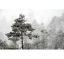 23.1.2015: Pine Trees in Blizzard V Photographic Print