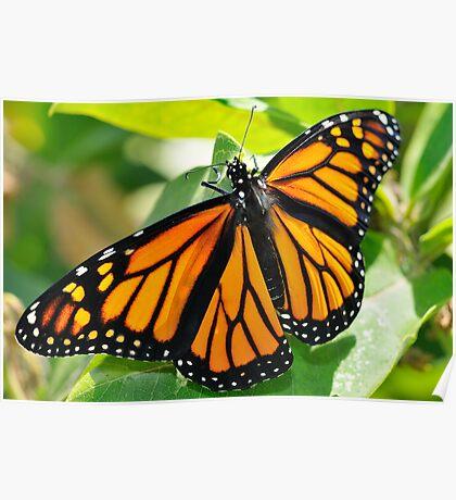 Monarch on Milkweed Poster