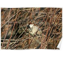 Male Sparrow Poster