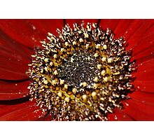 Gerbera Ruby Photographic Print