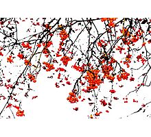 Red rowan fruits or ash berries Photographic Print