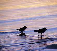 Purple & Blue Pied  Sooty Oystercatcher Sunset by Martice