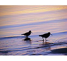 Purple & Blue Pied  Sooty Oystercatcher Sunset Photographic Print