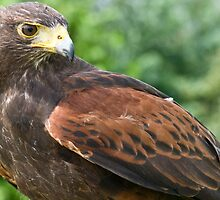 Harris Hawk by Nala