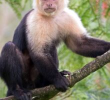 Capuchin monkey - Costa Rica Sticker