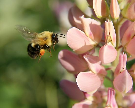 Bumble Bee in Flight by Heidi Hermes