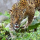Stalking Jaguar - Costa Rica by Jim Cumming