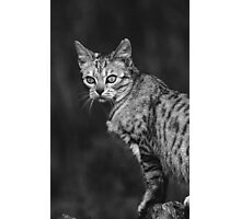 """Chat - Cat """" Peluche """" 05 (c)(h) ) by Olao-Olavia / Okaio Créations 300mm f.2.8 canon eos 5 1989 Photographic Print"""