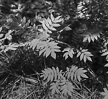 Glacier National Park Ferns in black and white by StonePics