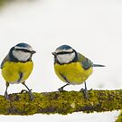 Little Blue tits by M.S. Photography/Art